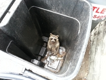 Trash Panda in its natural habitat