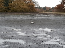 Turns out they drain the pond in my local park during winter This swan obviously didnt get the memo