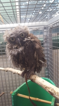 Update as deranged muppet owl continues to molt hes turned into mad scientist owl