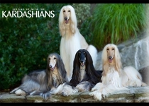 Was looking at pictures of Afghan Hounds and cant unsee