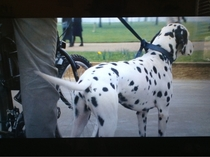 Watching live action  Dalmatians when I notice Pongo is neutered Perdita you cheating bitch
