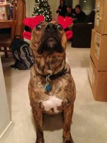 We put reindeer antlers on my dog This was his reaction