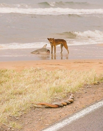 Welcome to Australia heres a dingo eating a shark while two snakes have sex