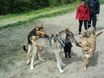 Went to the dog park Someone brought a wolfmy  lbs German Sheppard is all that is man