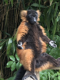 Went to the zoo found a red ruffed lemur finding his inner peace