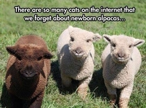 What about baby Alpacas