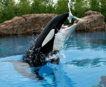 When killer whales arent fed properly at Marineland my pic