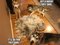When people tell me they wish they had a pack of Huskies like me