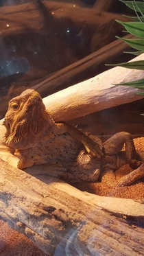 Woke up to my lizard looking at me like this