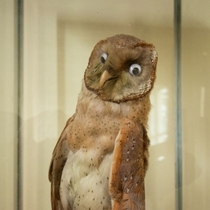 You can hardly even tell the taxidermist fucked up the eyes on this owl