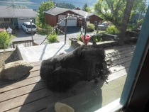 You cant come to work today No there is a Black Bear eating my pet chicken on my porch Sir